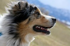 How can you not love that face? I think they're some of the most photogenic dogs around. #australianshepherd