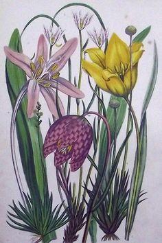 1899  WILD TULIP Mountain LLOYDIA Saffron  Anne Pratt Vintage Botanical Prints, Antique Prints, Botanical Art, Antique Illustration, Botanical Illustration, Illustration Art, Nature Journal, Botany, Spring Flowers