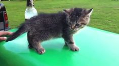 """This kitten who had a few too many. """"I must fly.."""" """"wait ...nope"""""""