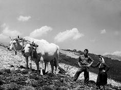 meggiano, vallo di nera, anni 50, Il lavoro in campagna: l'uomo e la donna sempre iniseme con un paio di mucche bianche aggiogate che trainano l'aratro.