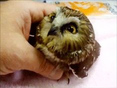 Petting a baby owl - GIF - Click twice for animation