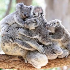 so much love! - Koala Funny - Funny Koala meme - - so much love! Koala Funny Funny Koala meme so much love! More The post so much love! appeared first on Gag Dad. The post so much love! appeared first on Gag Dad. Koala Meme, Funny Koala, Cute Funny Animals, Cute Baby Animals, Animals And Pets, Nature Animals, Wild Animals, Photo Animaliere, Australian Animals