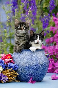CAT 03 KH0036 01 - Tabby And Black And White Kittens Peeking Out Of Blue Flower Pot On Table By Purple Flowers - Kimballstock
