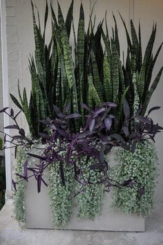 Plants shown here: Dichondra argentea 'Silver Falls' (silver ponysfoot), Tradescantia pallida 'Pink Stripe' (spiderwort), and Sansevieria trifasciata (mother-in-law's tongue).