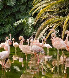 Flamencos - Loro Parque, #Tenerife