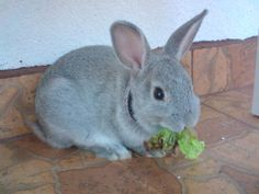 Chinchila rabbit Marley :3