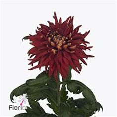 Chrysanthemum Blooms Rosetta are a red disbudded, single headed cut flower variety. 70cm tall & wholesaled in 10 stem wraps.