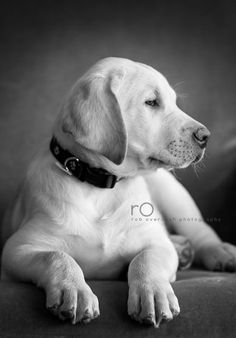 Beautiful yellow Labrador puppy gazing into the distance