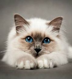 Here Are The 10 Cutest Cat Breeds In The Entire World. - Birman Cat - Ideas of Birman Cat - Birman cat! The post Here Are The 10 Cutest Cat Breeds In The Entire World. appeared first on Cat Gig. Cute Cats And Kittens, I Love Cats, Crazy Cats, Kittens Cutest, Beautiful Cat Breeds, Beautiful Cats, Animals Beautiful, Cute Animals, Monkeys Animals