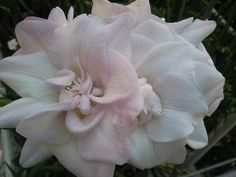 Giant double pale pink freesia