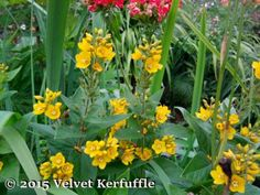 Dotted Loosestrife Plants
