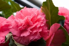 Blooming Begonias!  Plant Land, Kalispell, MT