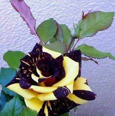 Beautiful Rose Flowers, Unusual Flowers, Unusual Plants, Rare Flowers, Flowers Nature, Amazing Flowers, Purple Flowers, Rare Roses, Gothic Garden