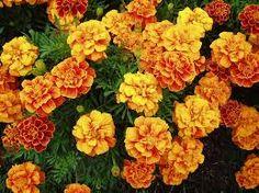 Easy flowers to grow from seed: Marigold 'Queen Sophia' - 1979 AAS Winner Full Sun Flowers, Summer Flowers, Pretty Flowers, Blooming Flowers, Autumn Flowers, Natural Mosquito Repellent Plants, Queen Sophia, Marijuana Plants, Cannabis Growing