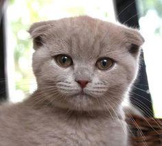 Misa [redux]  Scottish Fold kitten