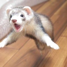 Ferret the Cute Pet - Frettchen - Animals Baby Ferrets, Funny Ferrets, Pet Ferret, Cute Baby Animals, Animals And Pets, Funny Animals, Cute Posts, Exotic Pets, Pet Care