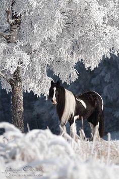 .Gypsy Vanner in the snow... How beautiful is that???