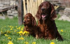 3 Irish Setter Wallpapers | Irish Setter Backgrounds
