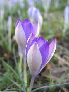 Autumn Crocus- These relatives of the spring crocus provide a sharp, clear color punch to the early fall garden. Clusters of one to four blossoms appear, minus the leaves, and reach heights of 4-8 inches. Bloom colors range from lavender-pink to light purple. Plant bulbs in full sun with gritty, well-drained soil. USDA Hardiness Zones: 4 to 9
