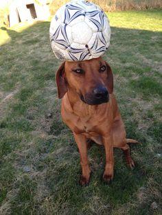 Mini, rhodesian ridgeback, lion dog, football
