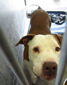 SUPER URGENT at Baldwin Park - A4669567  my name is Willy. I am a male brown/white pit bull mix. I came to the shelter as a stray on January 18. available 1/23/14 Baldwin Park shelter Open for Adoptions 7 days a Week 4275 Elton Street, Baldwin Park, California 91706 Phone 626 430 2378  https://www.facebook.com/photo.php?fbid=724757244202782&set=a.705235432821630&type=3&theater