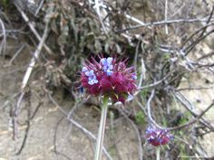 Sequoia Wildflowers
