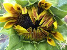 Just opening sunflower
