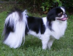 The most beautiful of all! My little Japanese Chin... Empress Wu.