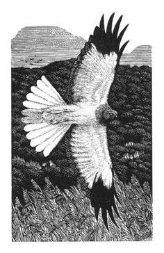 """Hunting Hen Harrier"" - Kathleen Lindsley (Wood Engraving)"