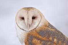 A beautiful barn owl