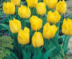 It's almost time for tulips! I love the mass plantings on Park Avenue in NYC! Flower Garden Design, Annual Flowers, Garden Fun, Yellow Tulips, Park Avenue, Farm Gardens, Farm Life, Amazing Gardens, Garden Inspiration
