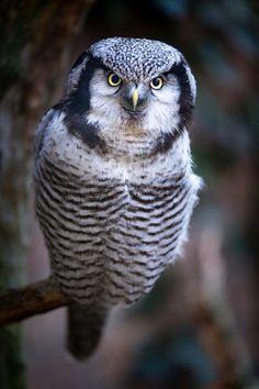 magicalnaturetour: Hawk-Owl by Markus van Hauten on 500px.com