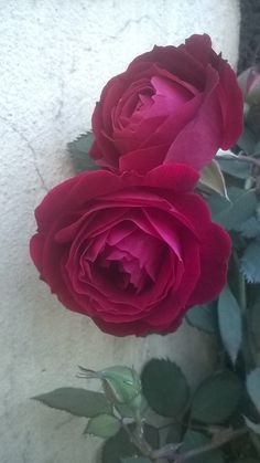 Couple of Rose