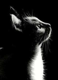 Cats black and white drawing beautiful 64 Ideas Black Paper Drawing, Black And White Drawing, I Love Cats, Cute Cats, Animals And Pets, Cute Animals, Photo Chat, Cat Photography, Vintage Photography