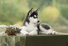 Siberian Husky puppy | (c) KOFEstudio, September 2013 | Tanya Kozlovsky | Flickr