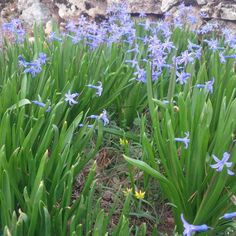Baharın gelişini gösteren sümbüller