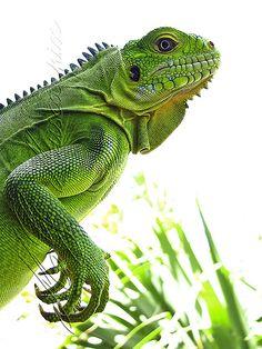"""St Barth iguane """"Iguana delicatissima"""" godzilla 2"""