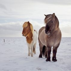 Icelandic horse in his full winter coat. The Icelandic horse is very unique after being isolated in Iceland for over 1000 years. One of the unique attributes is this thick winter coat that grows every fall and is shed in the spring.