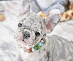 cute pug puppies French Bulldog Puppies For Sale in Florida Merle French Bulldog, Baby French Bulldog, French Bulldogs, Blue Bulldog, French Bulldog Full Grown, Funny Bulldog, Baby Bulldogs, Funny Pugs, Super Cute Puppies