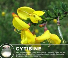 Cytisine is a toxic pyridine-like alkaloid. Pharmacologically it exhibits similar effects to nicotine due to st ructural similarity of the two molecules.