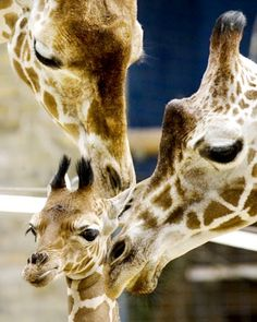 Giraffe calf Shani, nearly two weeks old, is seen with her father Naruk, l., and her mother Kibaya, r., at the Berlin Zoo.