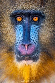 Google+ Primates, Mammals, Animals And Pets, Funny Animals, Cute Animals, Beautiful Creatures, Animals Beautiful, Mandrill Monkey, Monkey Illustration