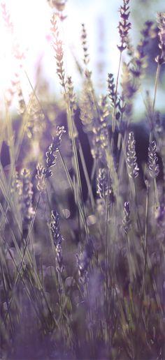 Sun kissed, endlessly fragrant lavender. #garden #summer #lavender #LavenderFields