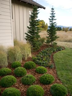 HGTV Dream Home Front Yard Pictures Sub-Alpine Fir flank each end of the home, standing as bookends. The slow-growing, spir-like tree will grow no taller than 50 feet in its lifetime. Beds of Slowmound Mugo Pine will grow to approximately three fe Evergreen Landscape, Evergreen Garden, Dwarf Evergreen Trees, Home Landscaping, Front Yard Landscaping, Backyard Patio, Landscaping Around House, Backyard Privacy, Landscaping Software