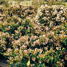 Eleanor Taber Indian Hawthorne.  #murfreesboroplants #southbranchnursery
