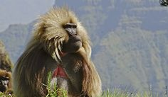 Geladas are adapted to spend their lives on the mountains of Ethiopia. They form large huddled groups that can consist up to 600 members. Learn more about this highly social yet peculiar primate! http://www.awf.org/wildlife-conservation/gelada