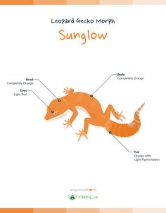 A Sunglowleopard gecko is the result of combining recessive albino traits withSuper Hypo Tangerine Carrot Tail Baldy. Thisproduces an Albino with a completely solid orange or yellow/orange body.