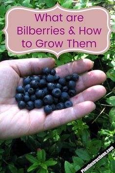 But what makes bilberries different from blueberries? They're simply a different species and in this article we'll show you how to grow bilberries and what the actual difference between the two is! Fruit Plants, Fruit Garden, Garden Seeds, Edible Garden, Planting Seeds, Fruit Trees, Fruit Bushes, Herbs Garden, Green Dome