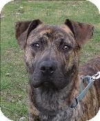 Silverdale, WA - American Pit Bull Terrier Boxer Mix. Meet Cisco a Dog for Adoption.