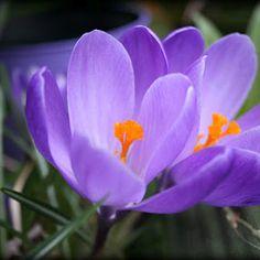 Purple crocus won't be in the garden much longer.